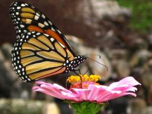 Monarch_Butterfly_Stock_by_Foxytocin